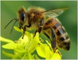 pszczola.jpeg