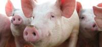 swinie.jpeg